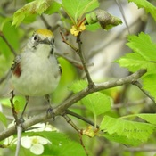 A female Chestnut-sided Warbler