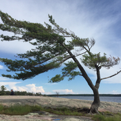 "Famous ""tree"" at Killbear"