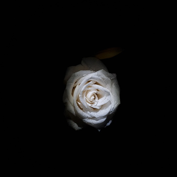 pretty rose at night
