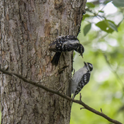 Downy Woodpecker with Fledgling