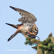Kestrel preparing dinner