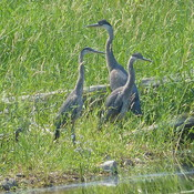 Blue heron dad mom and child