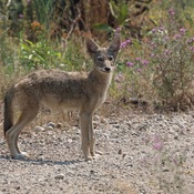 Coyote pup, Swainson's hawk, Osprey, Belted kingfisher