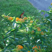 Monarch sipping nectar on Butterfly Milkweed