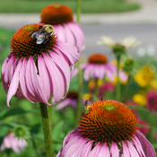 Sharing the purple coneflowers