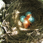 New family of Robins