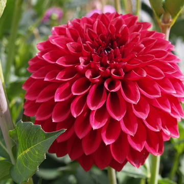 Dahlias just opening