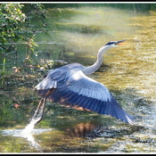 The Great Blue Heron says goodbye.........