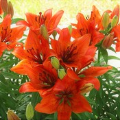 Canada Day Lilies