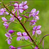 Fireweed, Elliot Lake.