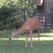 a deer in our backyard