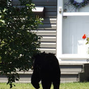 Bear shot-via camera -On Manitou Drive in Sault Ste Marie on July 20, 2017