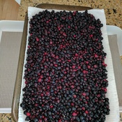 saskatoons from our acerage near Okotoks