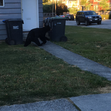 Bear cub walking in Poco