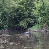 Blue Heron at Bowmanville Creek