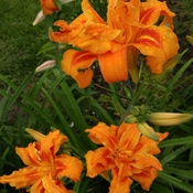 My day lily this afternoon in the rain