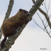Tree Climbing Groundhog? REALLY!