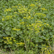 Wild Parsnip WARNING