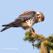 Male kestrel with vole