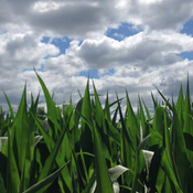 Corn & Clouds