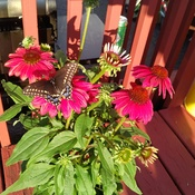 Butterfly on back deck