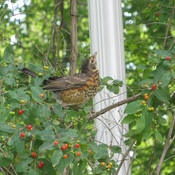 Juvenile robin feasting on berries