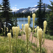 Year of the Bear Grass