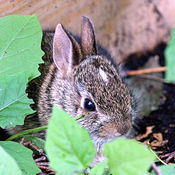 One of Four Young Bunnies