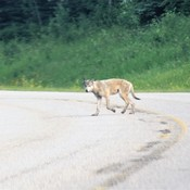 Wolf in Riding Mountain National Park