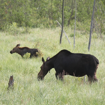 Momma moose with baby