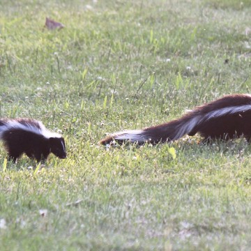 Momma skunk with baby