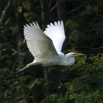 Grande aigrette en vol...