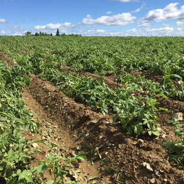 Destroyed potato crops from wind & hail