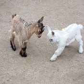 Baby goats butting heads