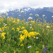 Wildflower meadow near last winter's melting snow, Highline Divide, Mt. Baker NF