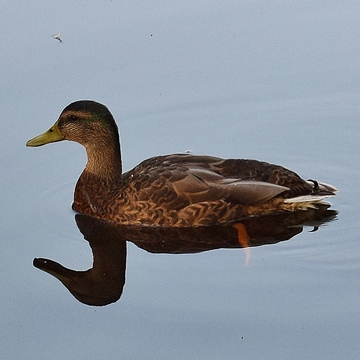 The reflecting duck.