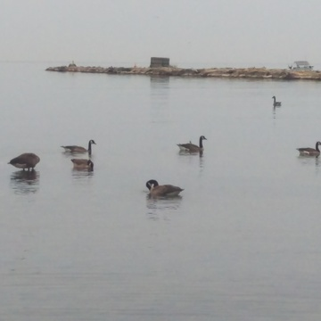 canadian geese relaxing on the shore