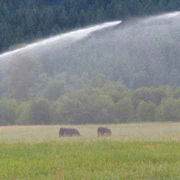 Cows cooling off in the sprinkler