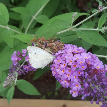 Butterfly on our butterfly bush 🦋