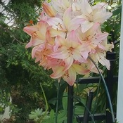 cool Lillies