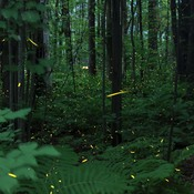 Fireflies in Rideau River Provincial Park