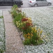 stupid hail smashed up my flowers again!