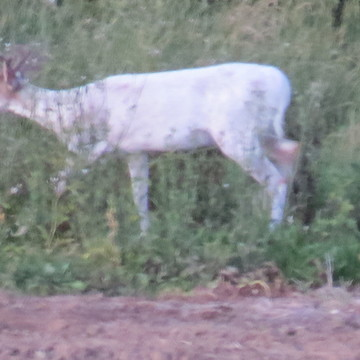 My first white Buck