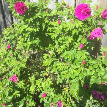 Wild Roses in Bloom