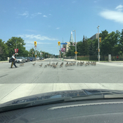 RCMP helping gooses to cross a street in Ottawa.
