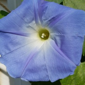 Glorious Morning Glory