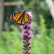 Monarch in the Garden.