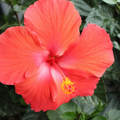 My beautiful hibiscus !!