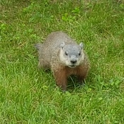 Carleton University Groundhog