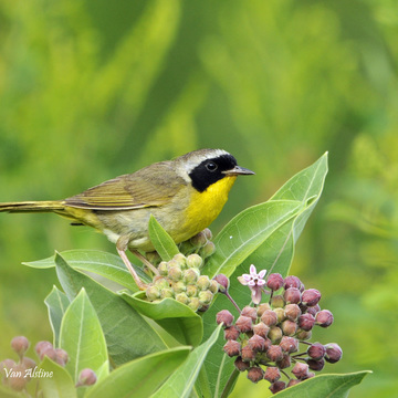 Pretty Common Yellowthroat
